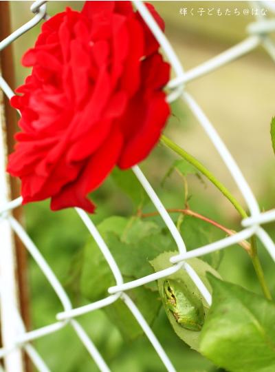 アマガエルとバラの花