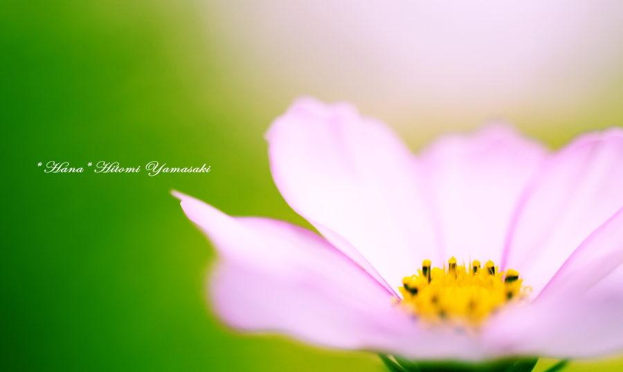 コスモス・秋桜