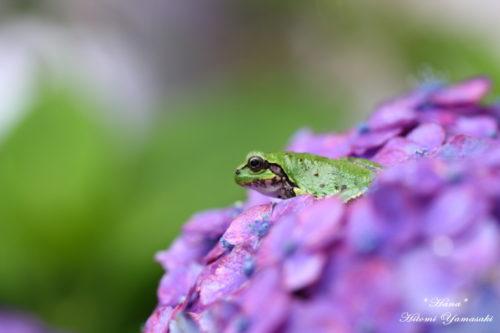 アマガエルと紫陽花