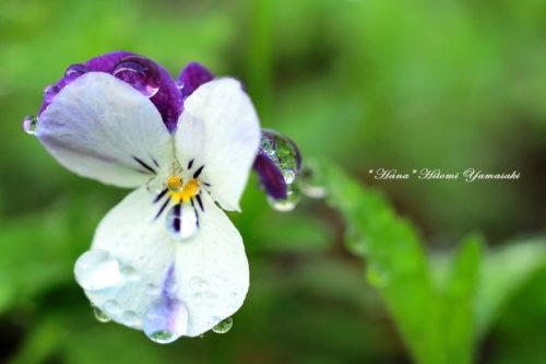 ビオラ・三色菫